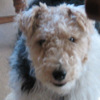 Wire_fox_terrier